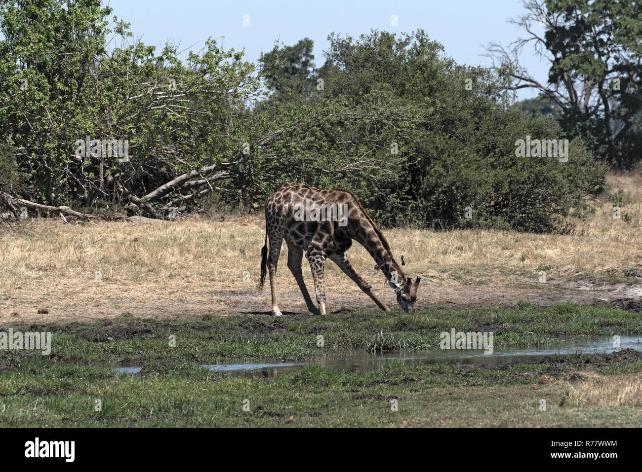 drinking giraffe in the Okavango Delta, Moremi Game Reserve, Botswana - Stock Image