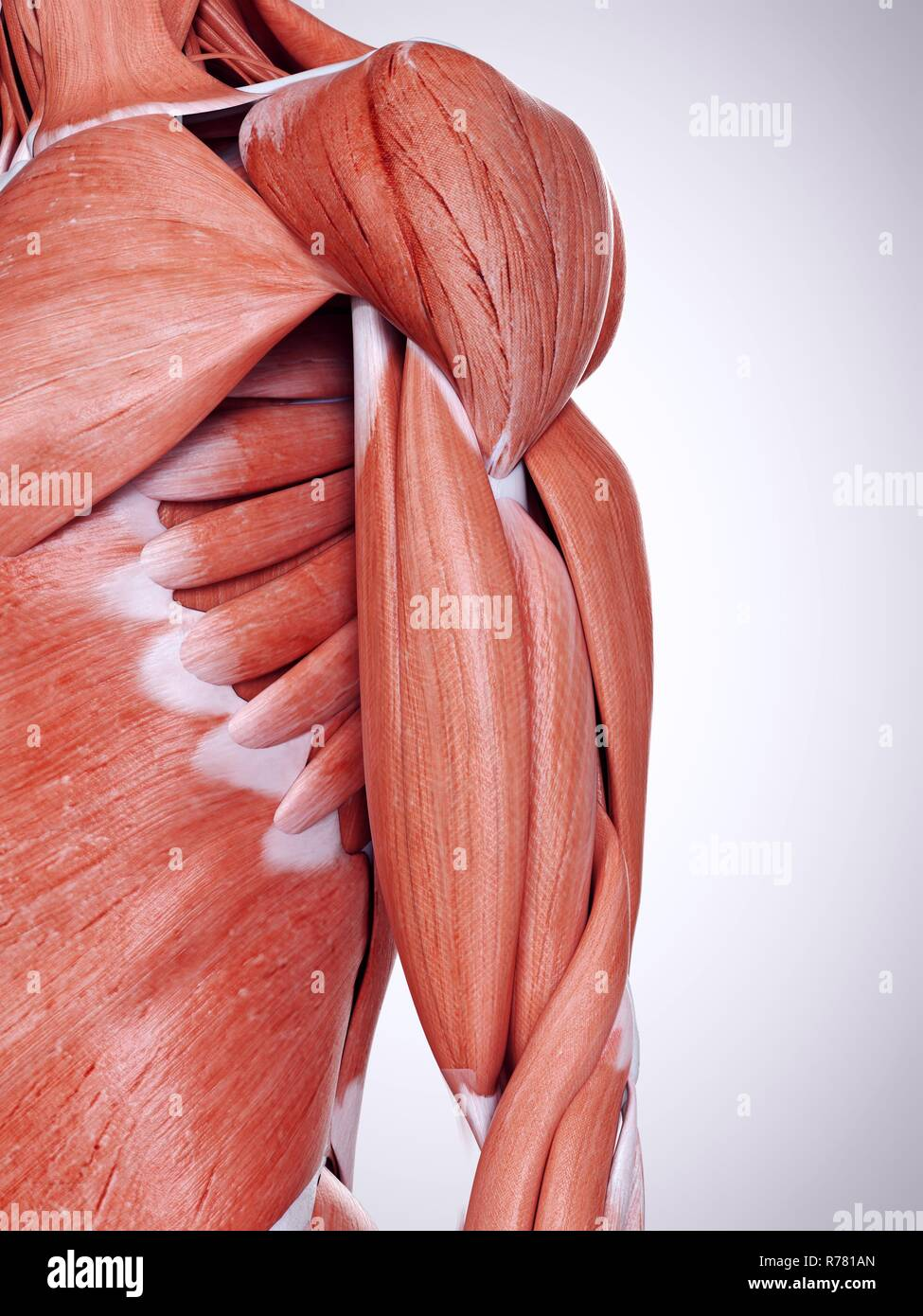 3d Rendered Illustration Of The Upper Arm Muscles Stock Photo