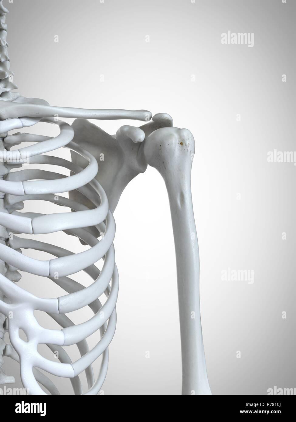 3d Rendered Illustration Of The Shoulder Bones Stock Photo
