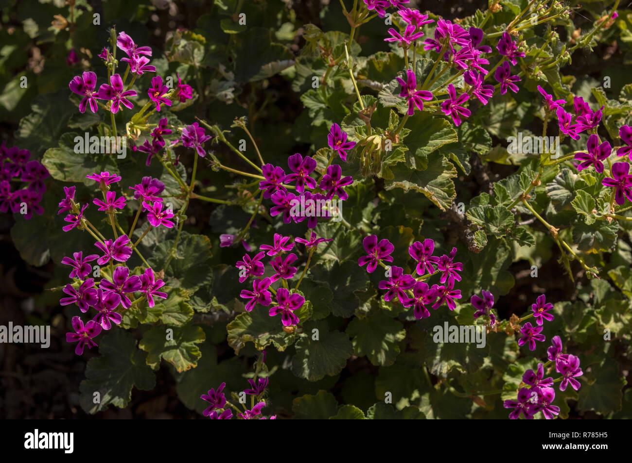 Magenta-flowered pelargonium, Pelargonium magenteum, in flower, Namaqualand, South Africa. - Stock Image