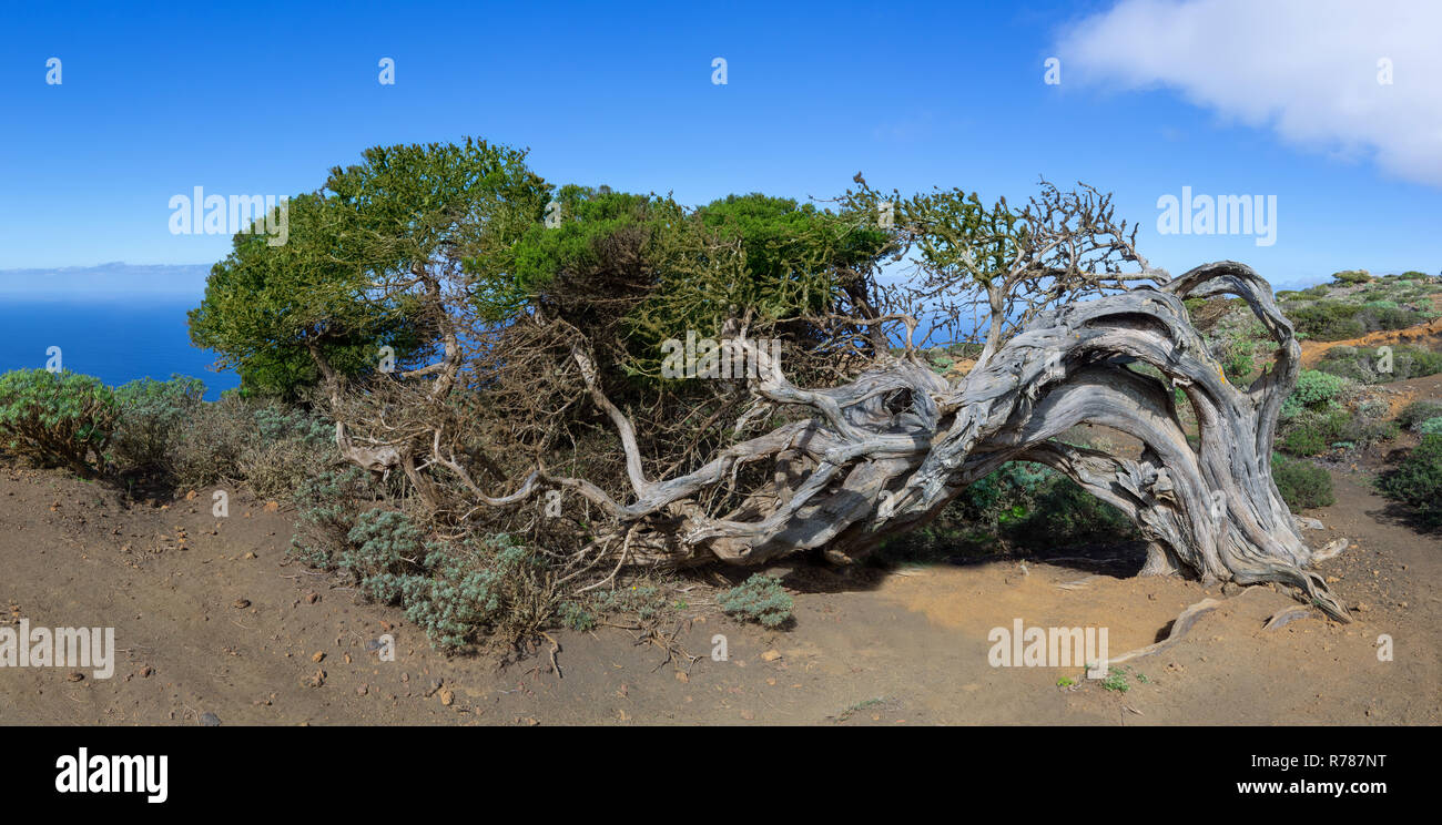 sabina - wind-bent juniper tree on the island el hierro,canary islands,spain Stock Photo