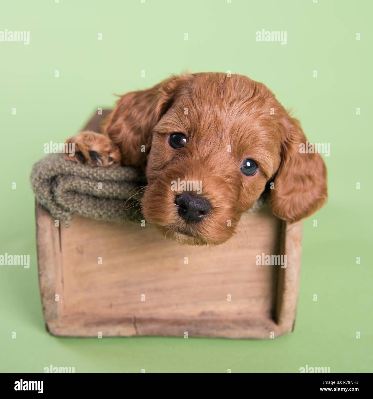 Cockapoo Puppy dog cute professional photograph - Stock Image