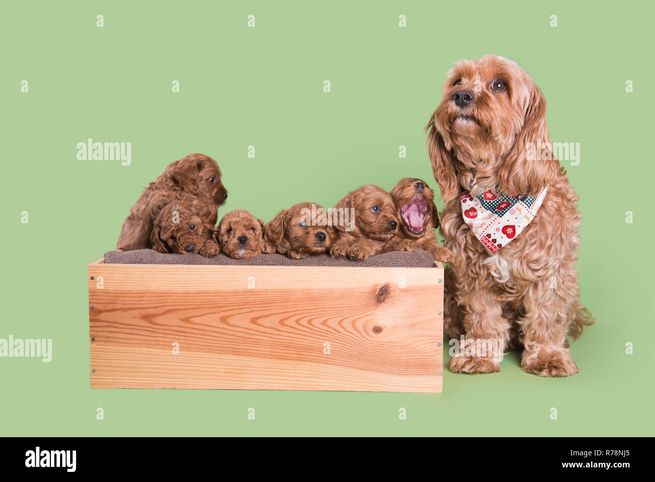 Cockapoo Puppy dog cute professional photograph - Stock Image