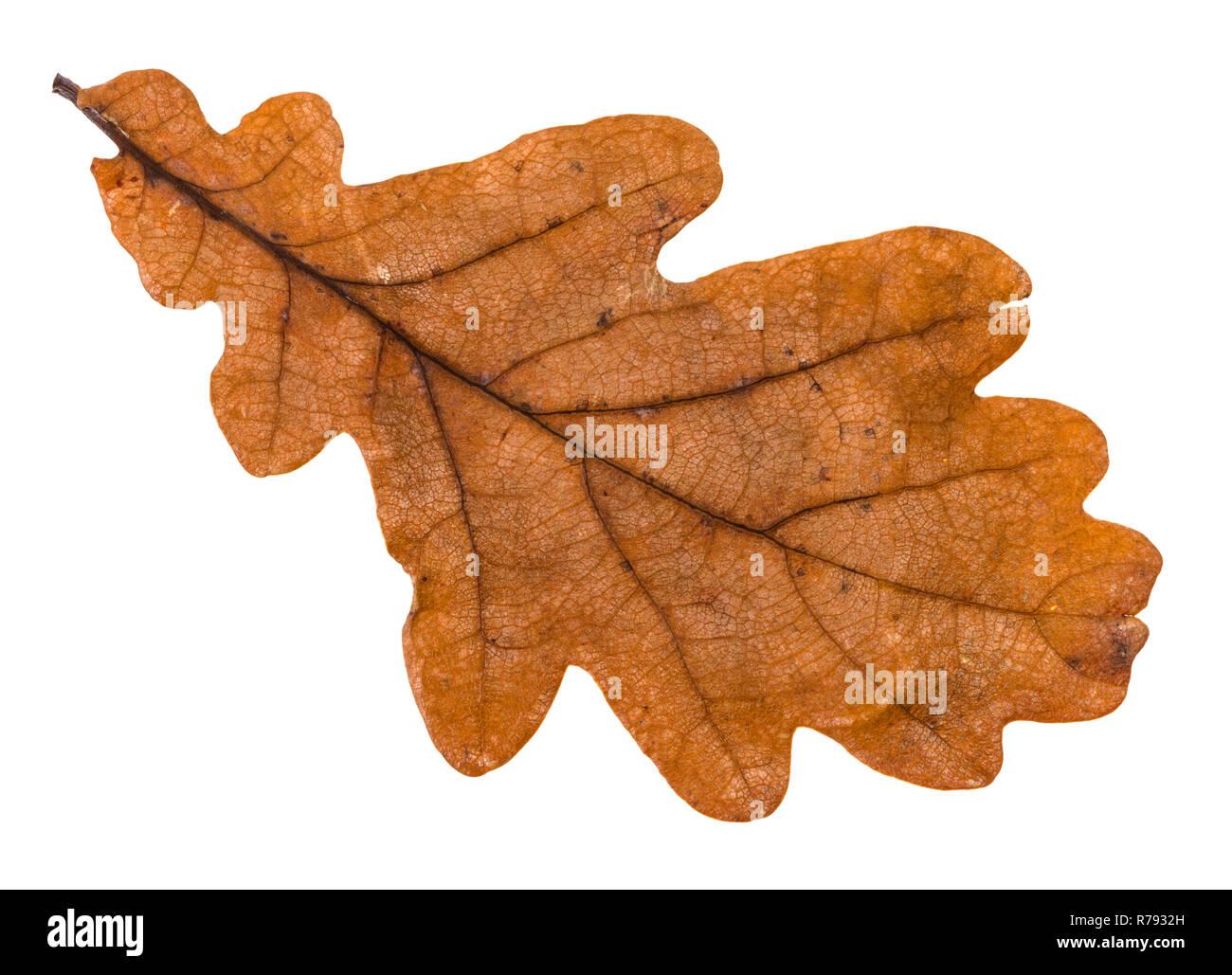 Autumn Brown Leaf Of Oak Tree Isolated Stock Photo Alamy