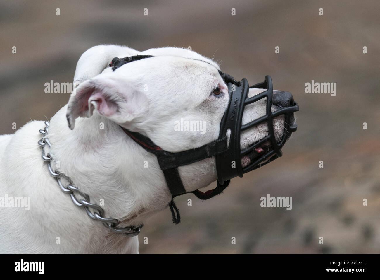 White Staffordshire Bull Terrier dog  wearing black muzzle. - Stock Image