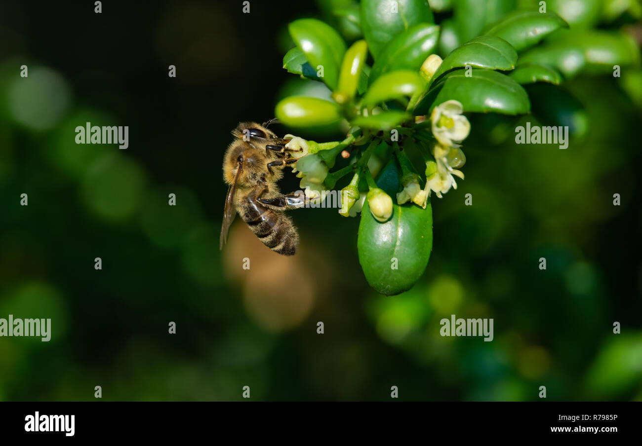 bee at the flower - Stock Image