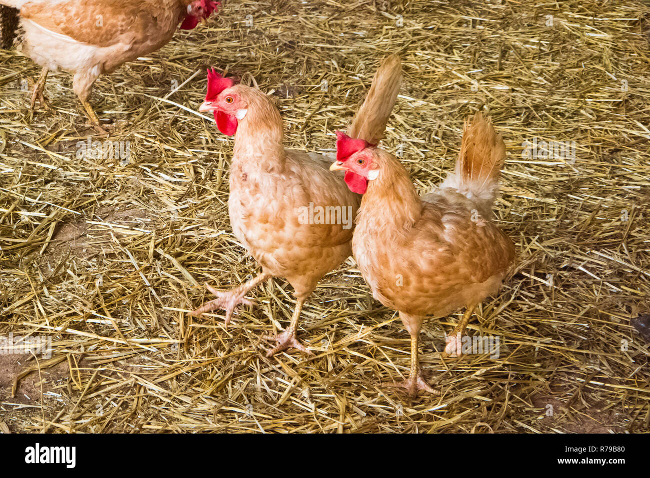 hens outdoor that eating worms of the land. - Stock Image