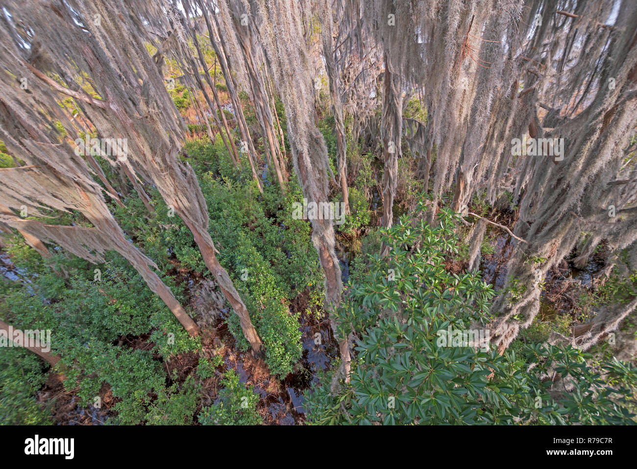 Looking Down in the Spanish Moss of a Cypress Swamp - Stock Image