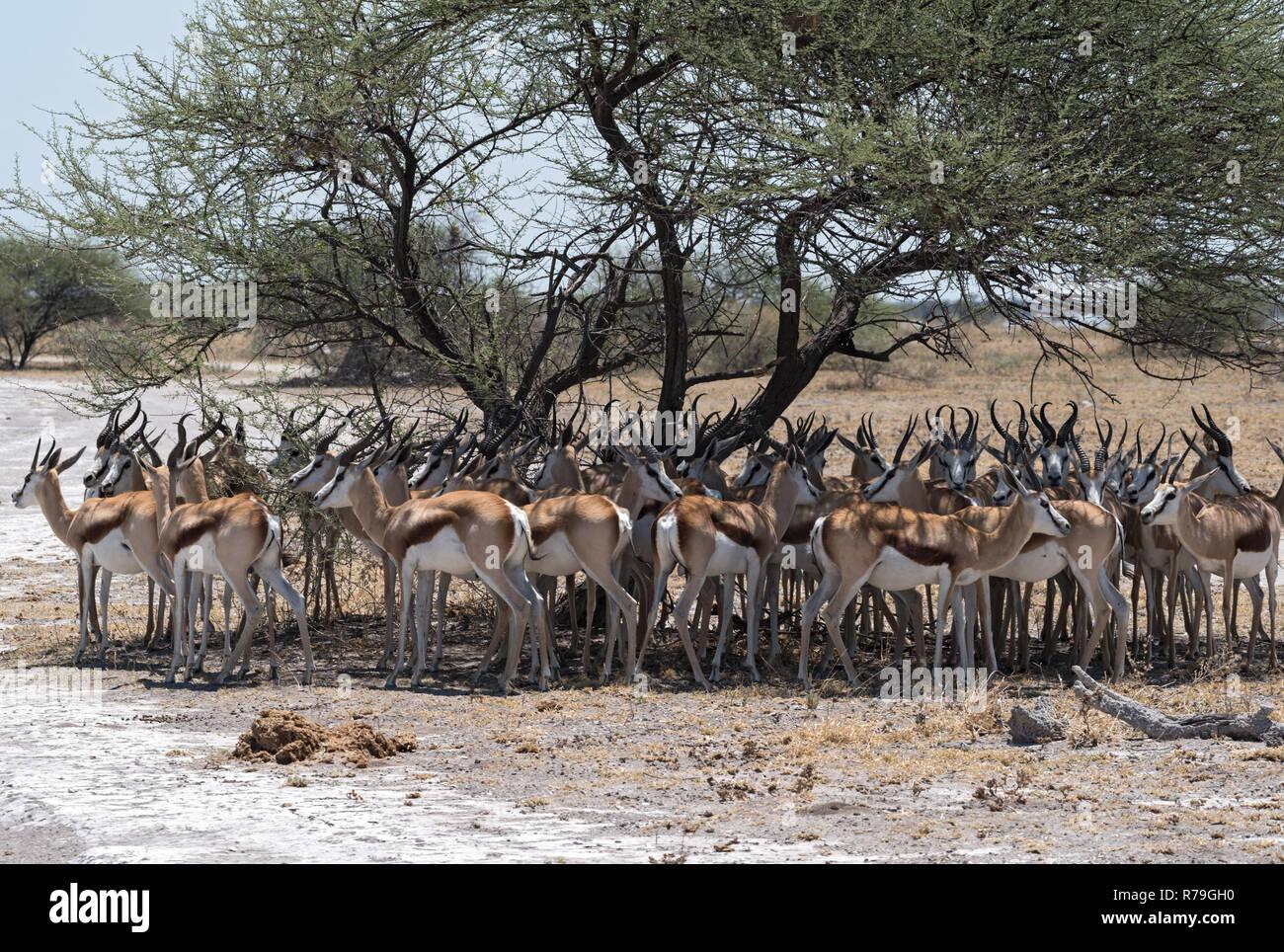 Herd of impala in the shade of a tree in Nxai Pan National Park, Botswana Stock Photo
