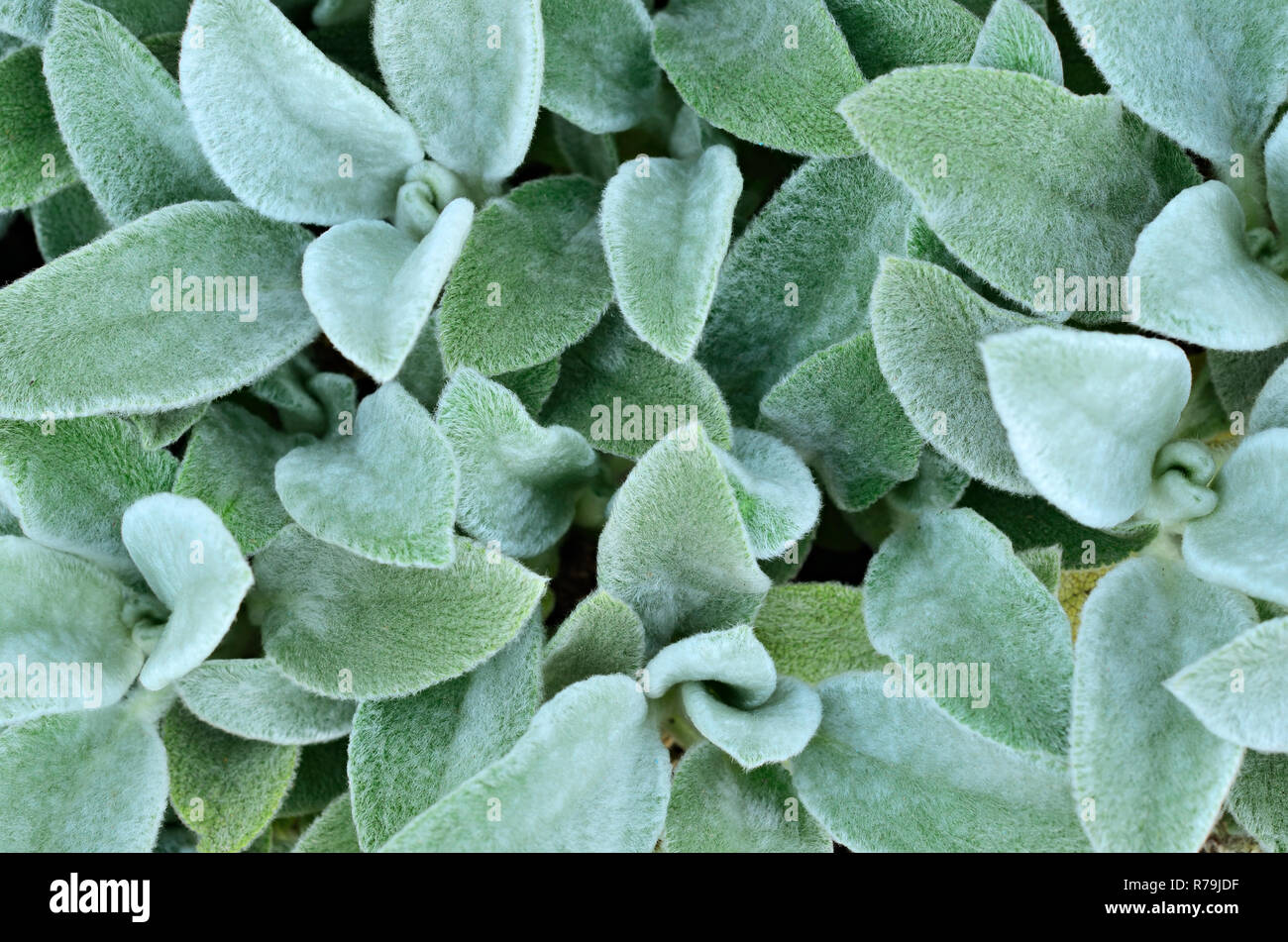 Hairy leaves of garden plants - Stock Image
