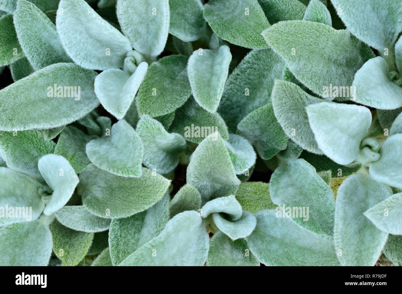 Hairy leaves of garden plants Stock Photo