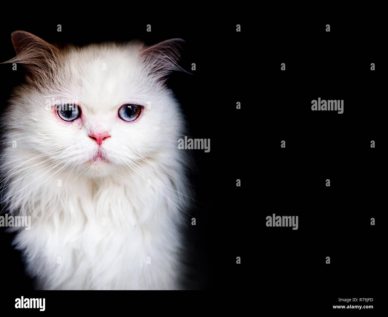 Beautiful clean white Persian cat, isolated on black background - Stock Image
