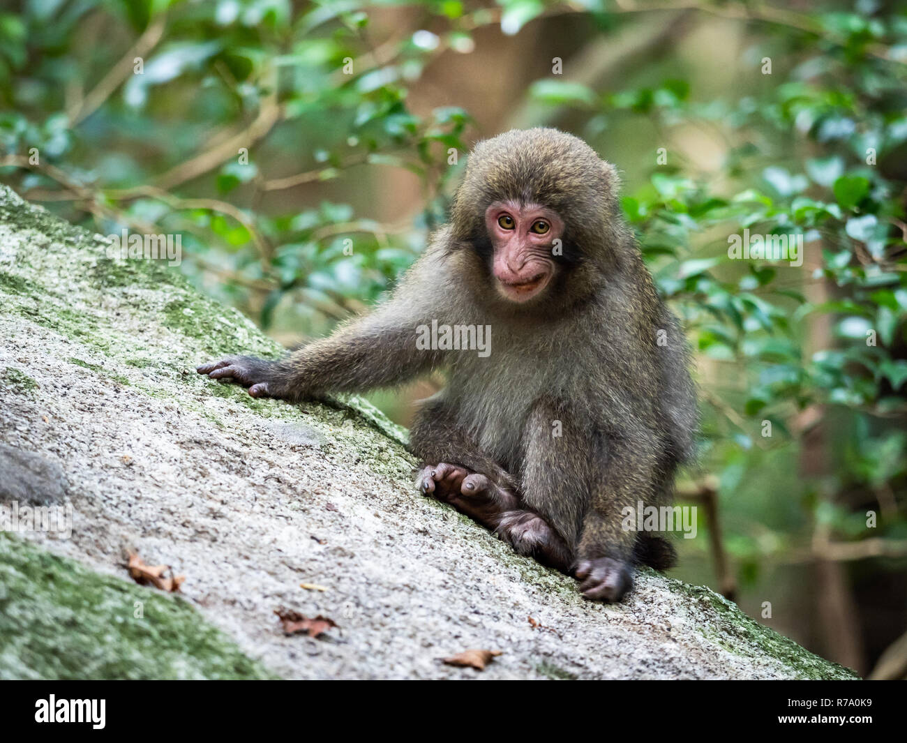 Yakushima macaques (Macaca fuscata yakui) in woodland in Western Yakushima, Japan. Stock Photo