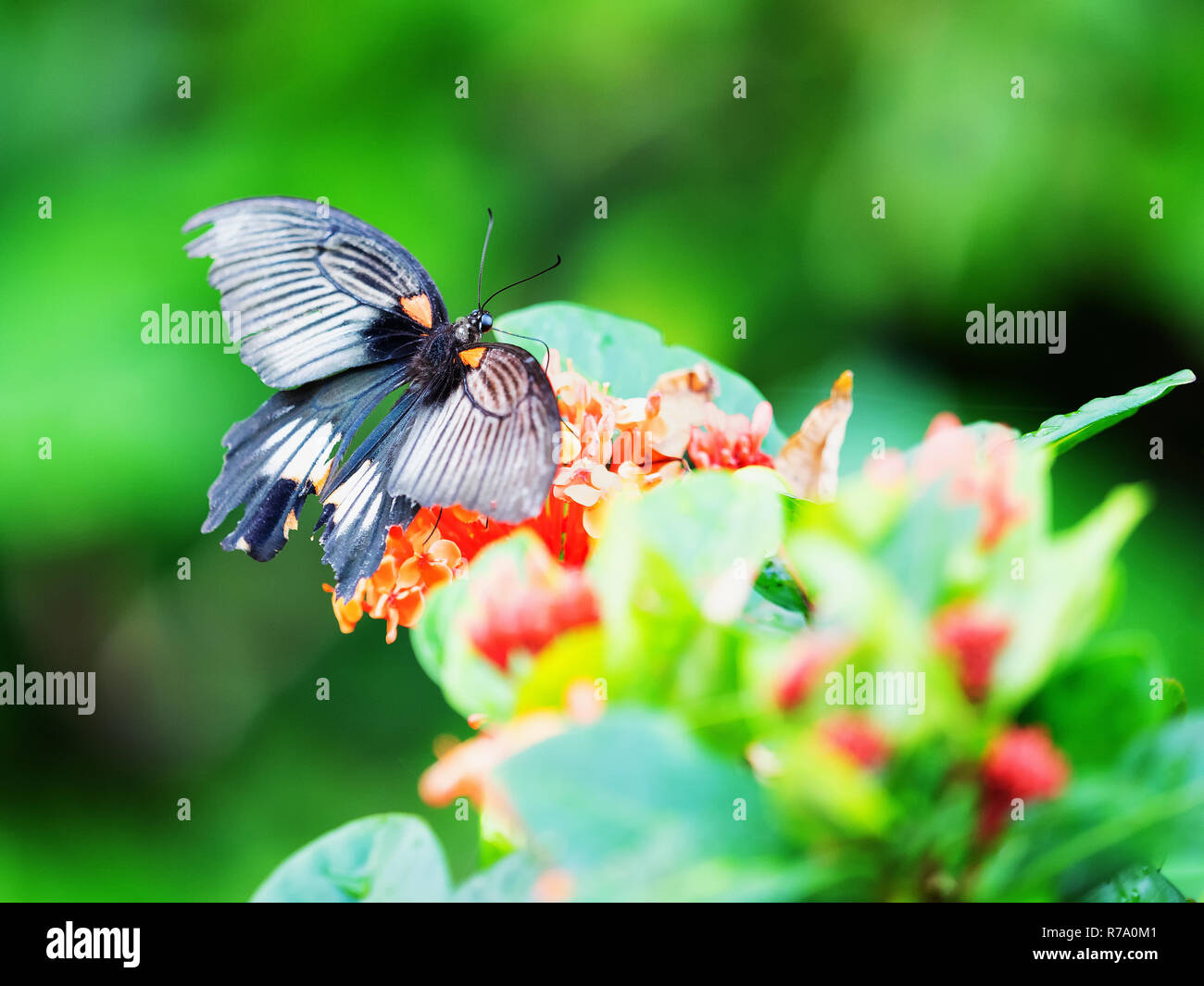 A swallowtail butterfly rests on a leaf in Yakushima, Japan. Stock Photo