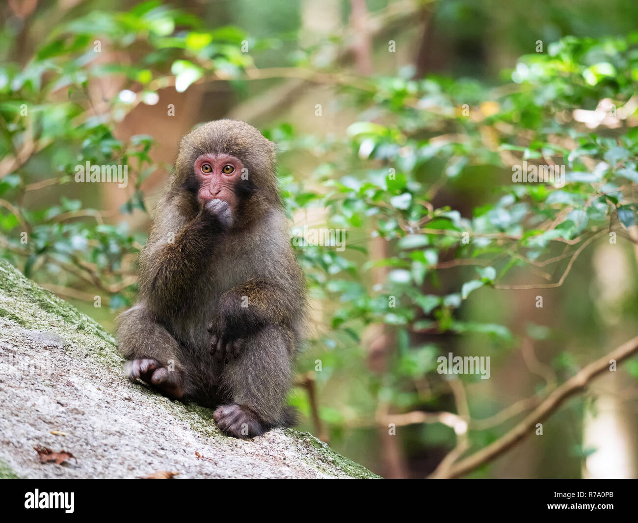 Yakushima macaques (Macaca fuscata yakui) in woodland in Western Yakushima, Japan. Stock Photo