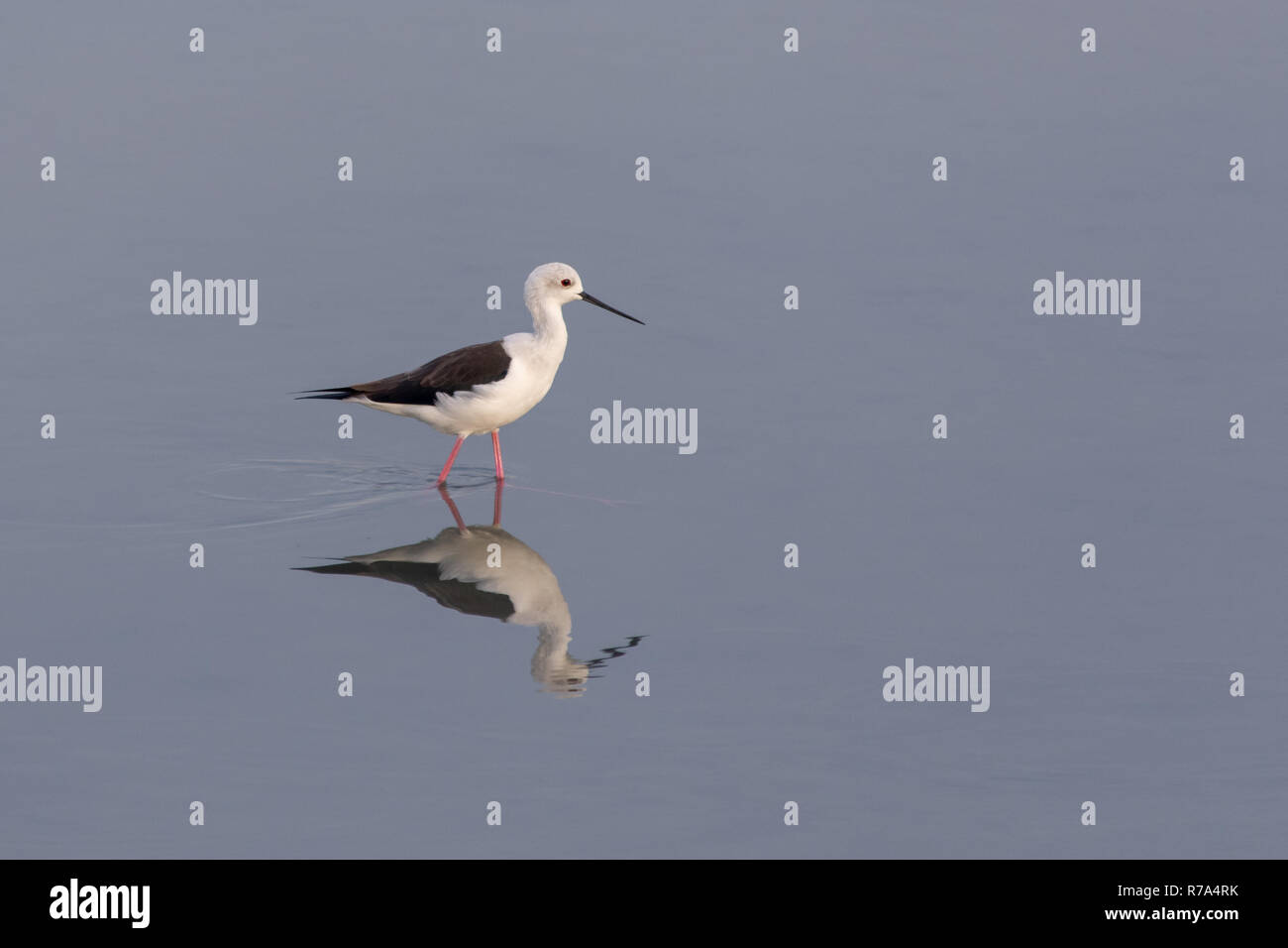 A black-winged stilt searches for food in the calm, shallow waters in Ras al Khor, Dubai wetlands. Stock Photo