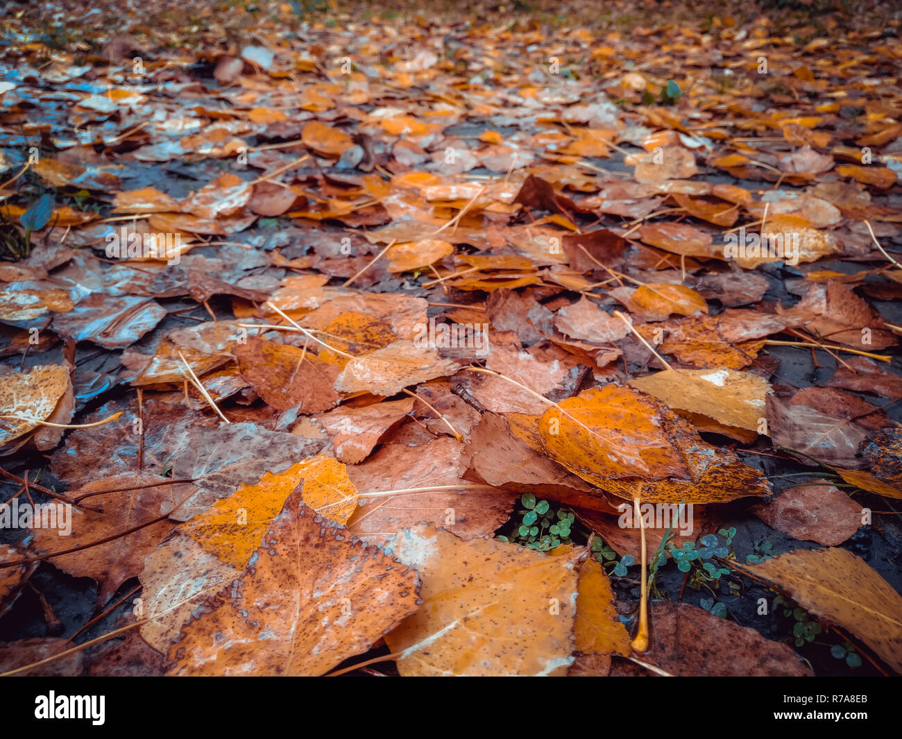 Background of colorful autumn leaves on forest floor . Abstract autumn leaves in autumn suitable as background . Autumn leaves on a meadow Stock Photo
