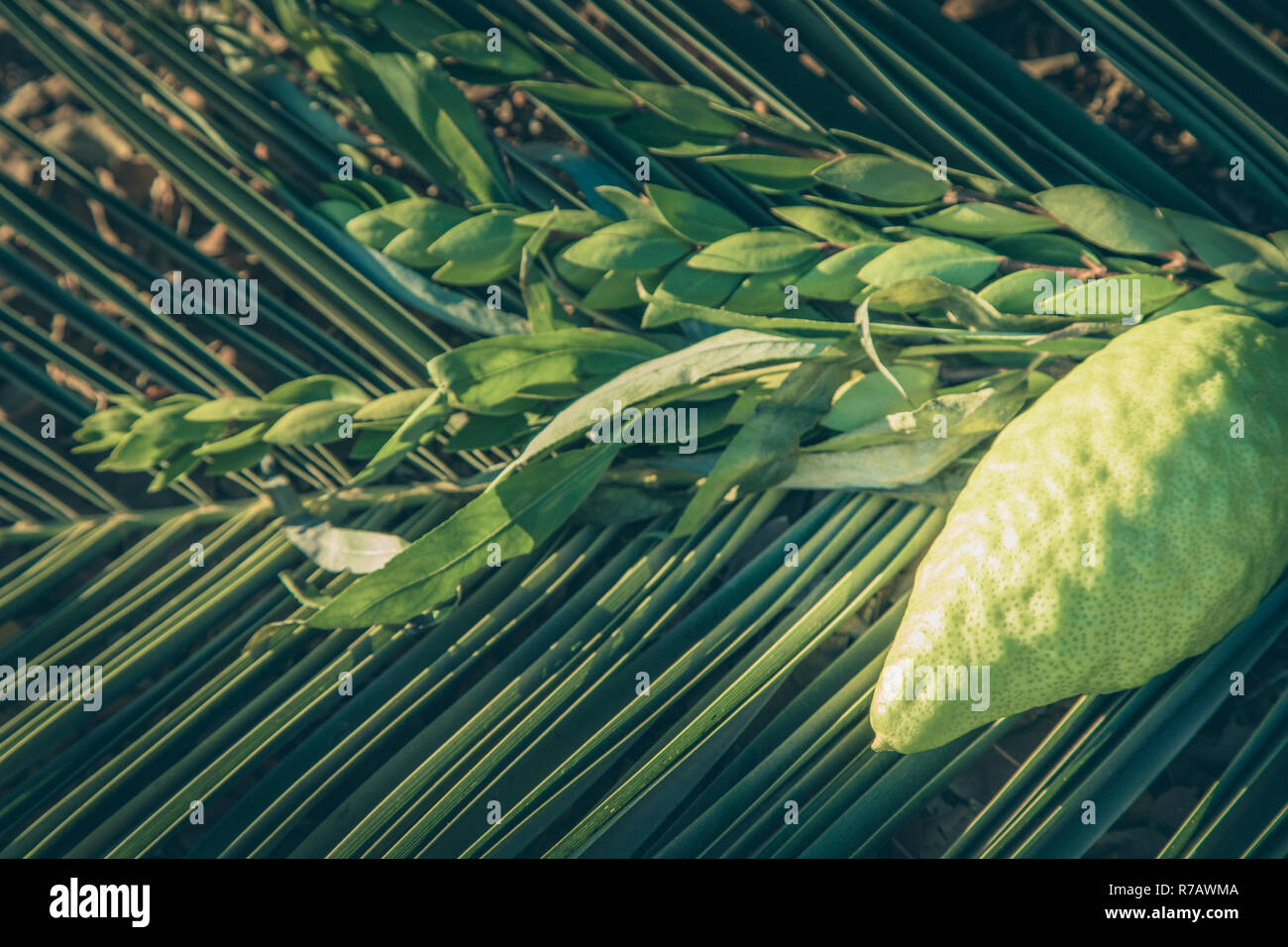 Traditional symbols (The four species) of jewish fall festival of Sukkot, etrog, palm branch, myrtle and willow. - Stock Image