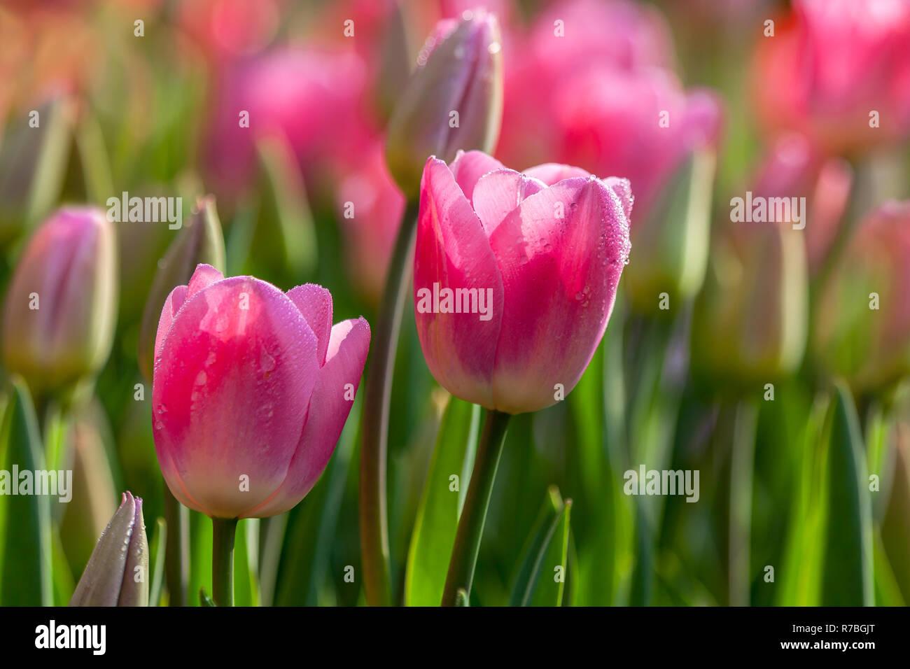 Wet pink tulips closeup - Stock Image