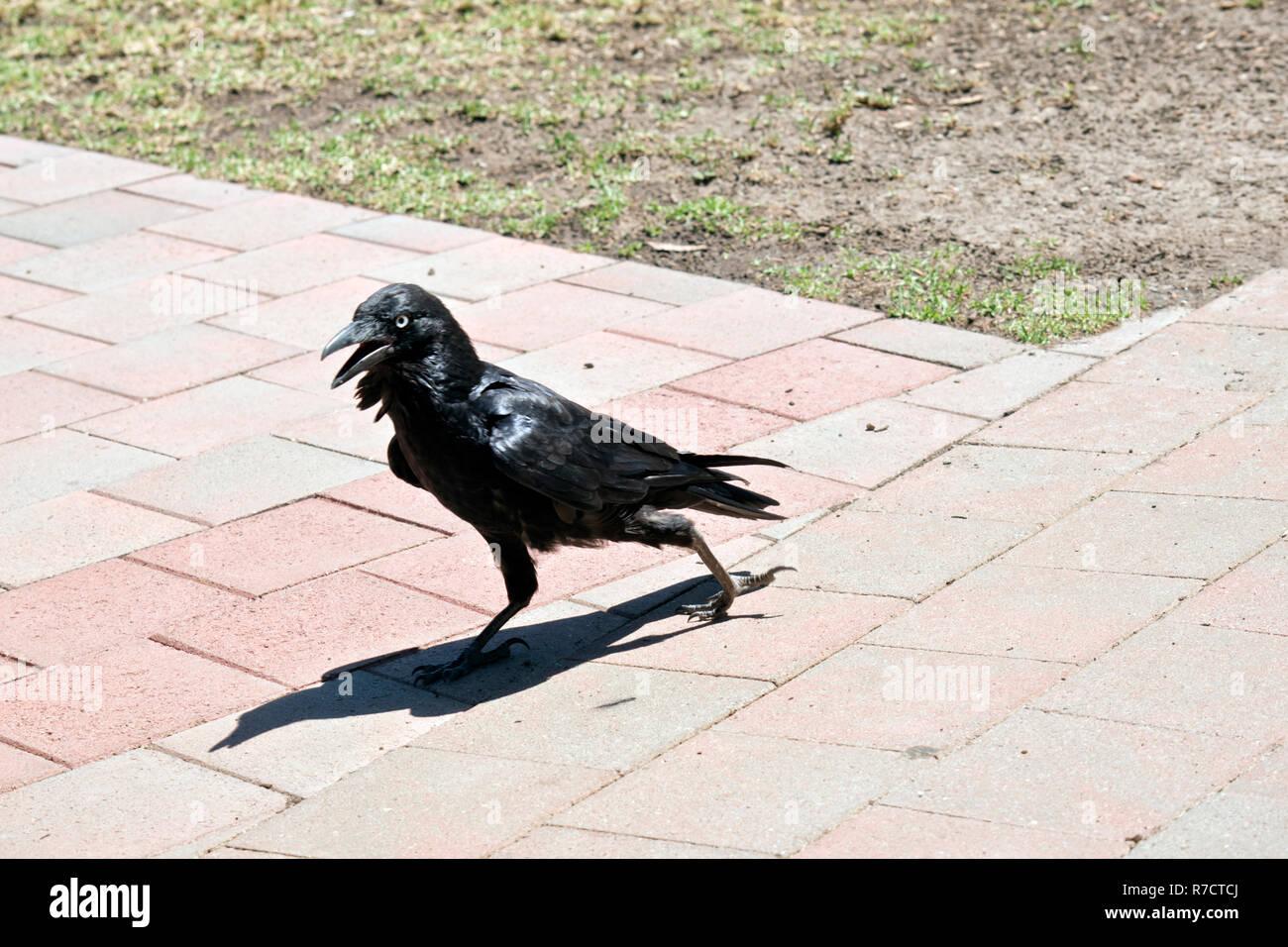 the Australian raven is walking on a brick path - Stock Image