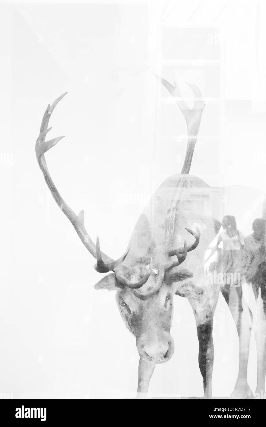 Beautiful deer, artistic image of wild animal, Natural history Museum, London - Stock Image