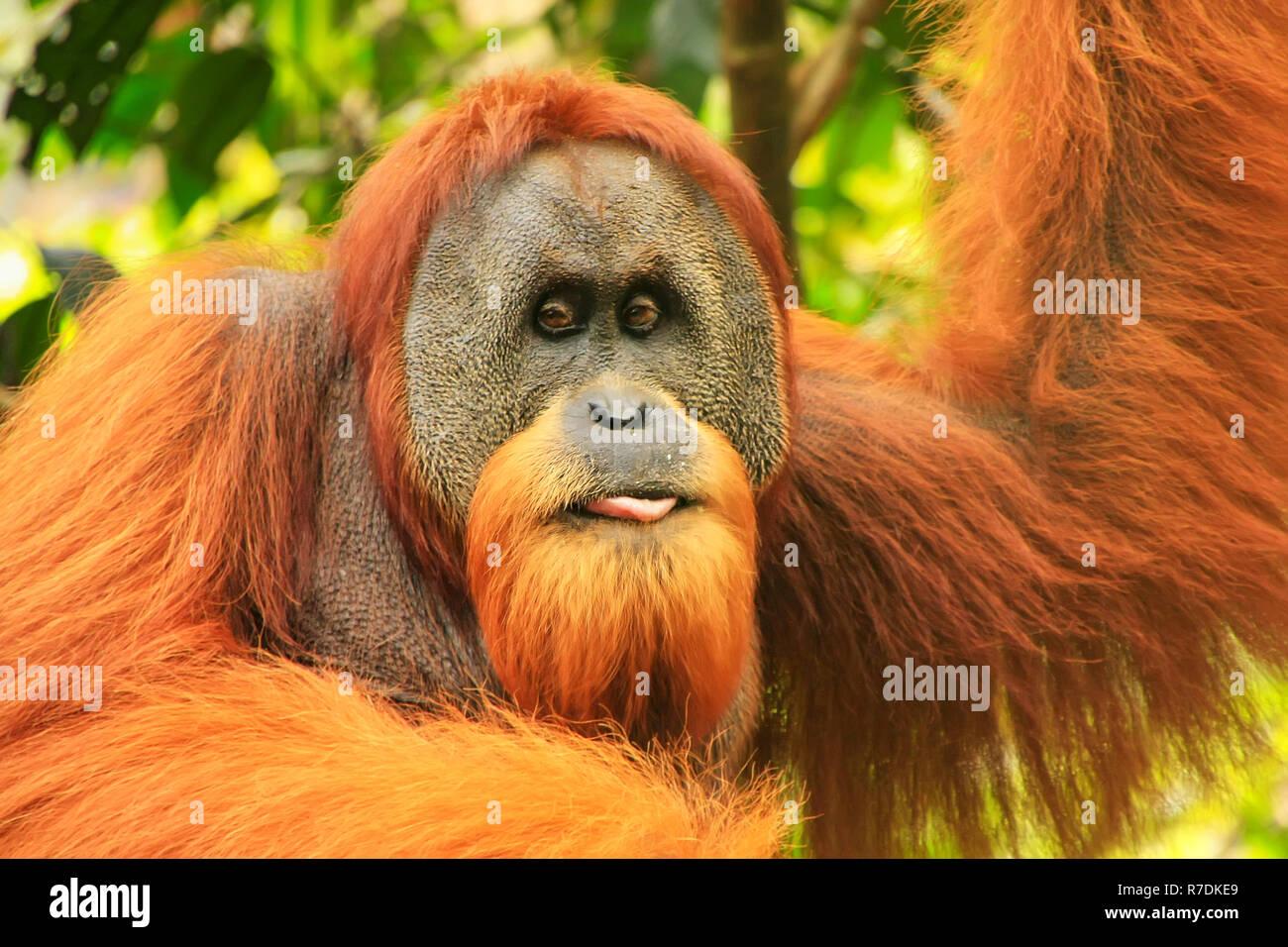 Portrait of male Sumatran orangutan (Pongo abelii) in Gunung Leuser National Park, Sumatra, Indonesia. Sumatran orangutan is endemic to the north of S Stock Photo