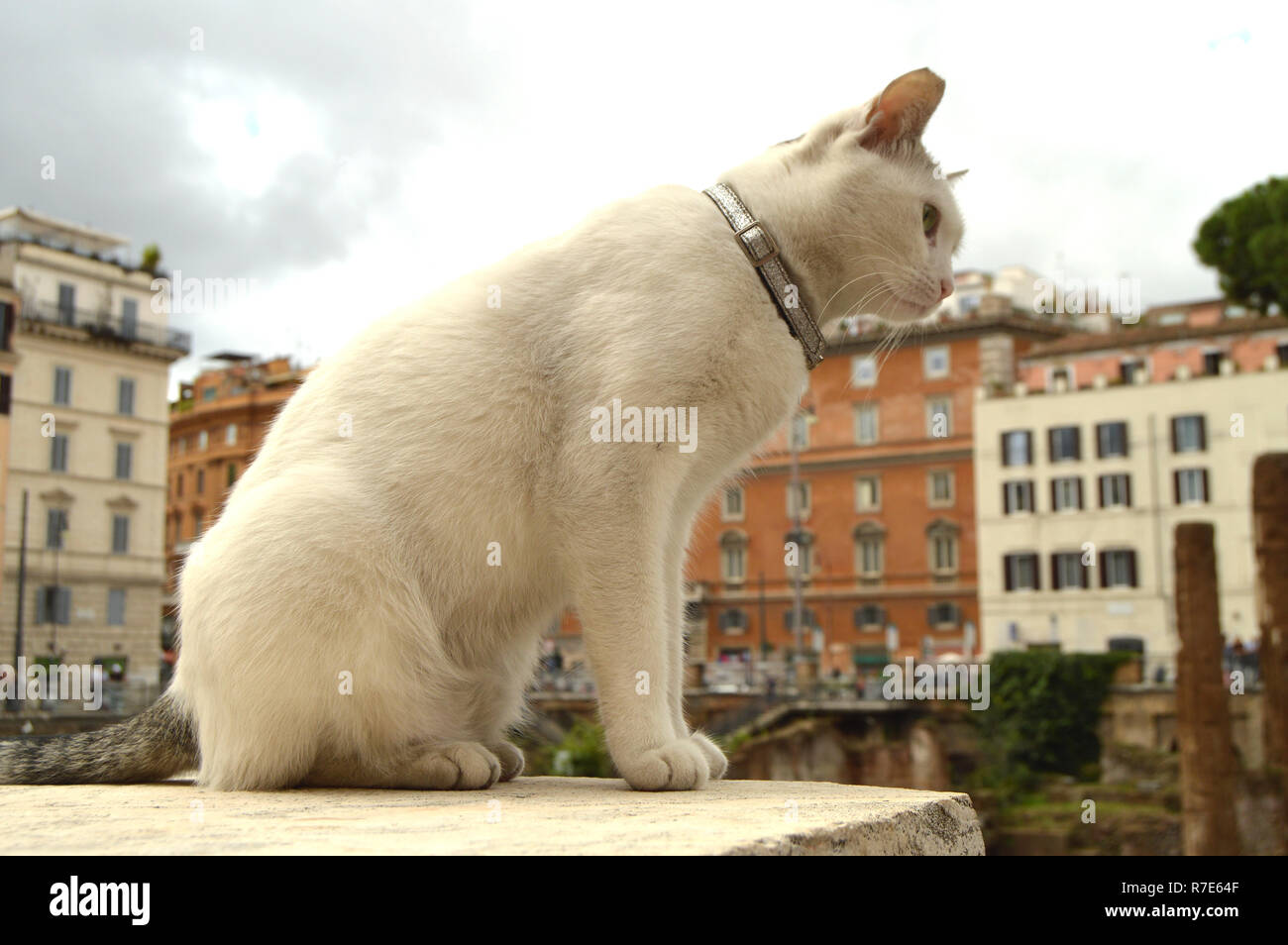 Cute white cat sitting on the square Largo di Torre Argentina. In the ancient Roman ruins on the site of the murder of Gaius Julius Caesar lives a lot of homeless cats. - Stock Image