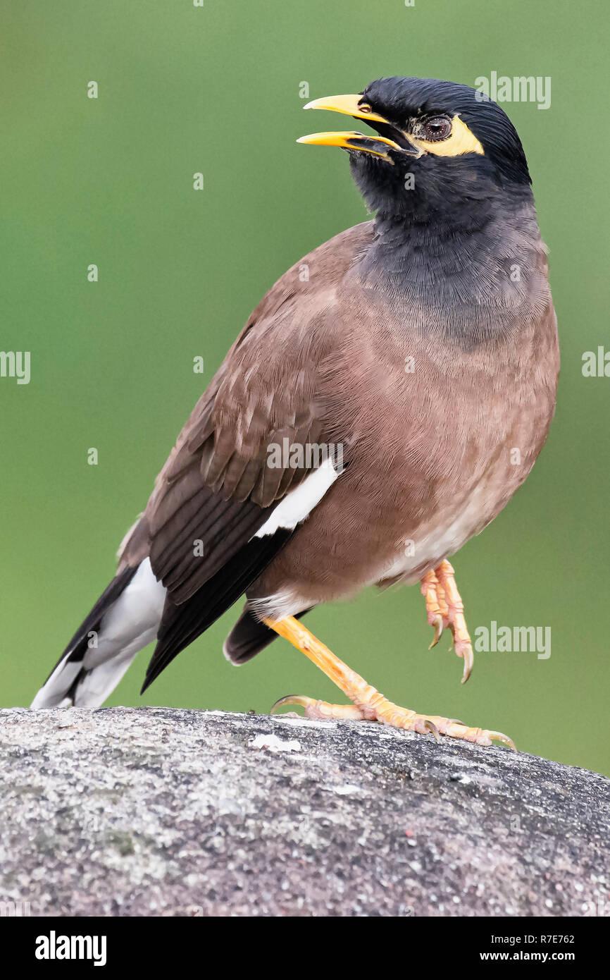 Common Myna Bird - Stock Image