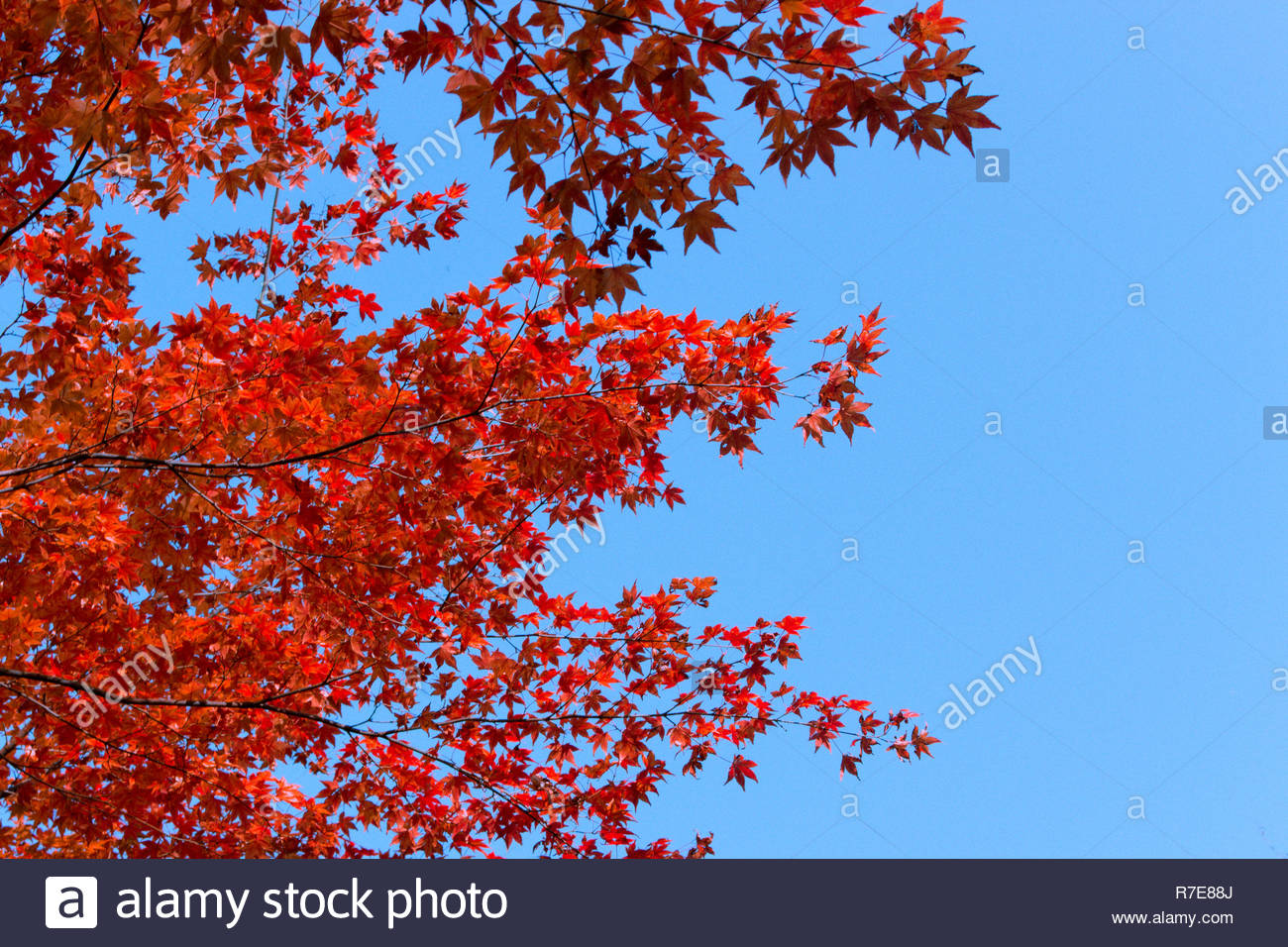 Japanese tree with red leaf - Stock Image