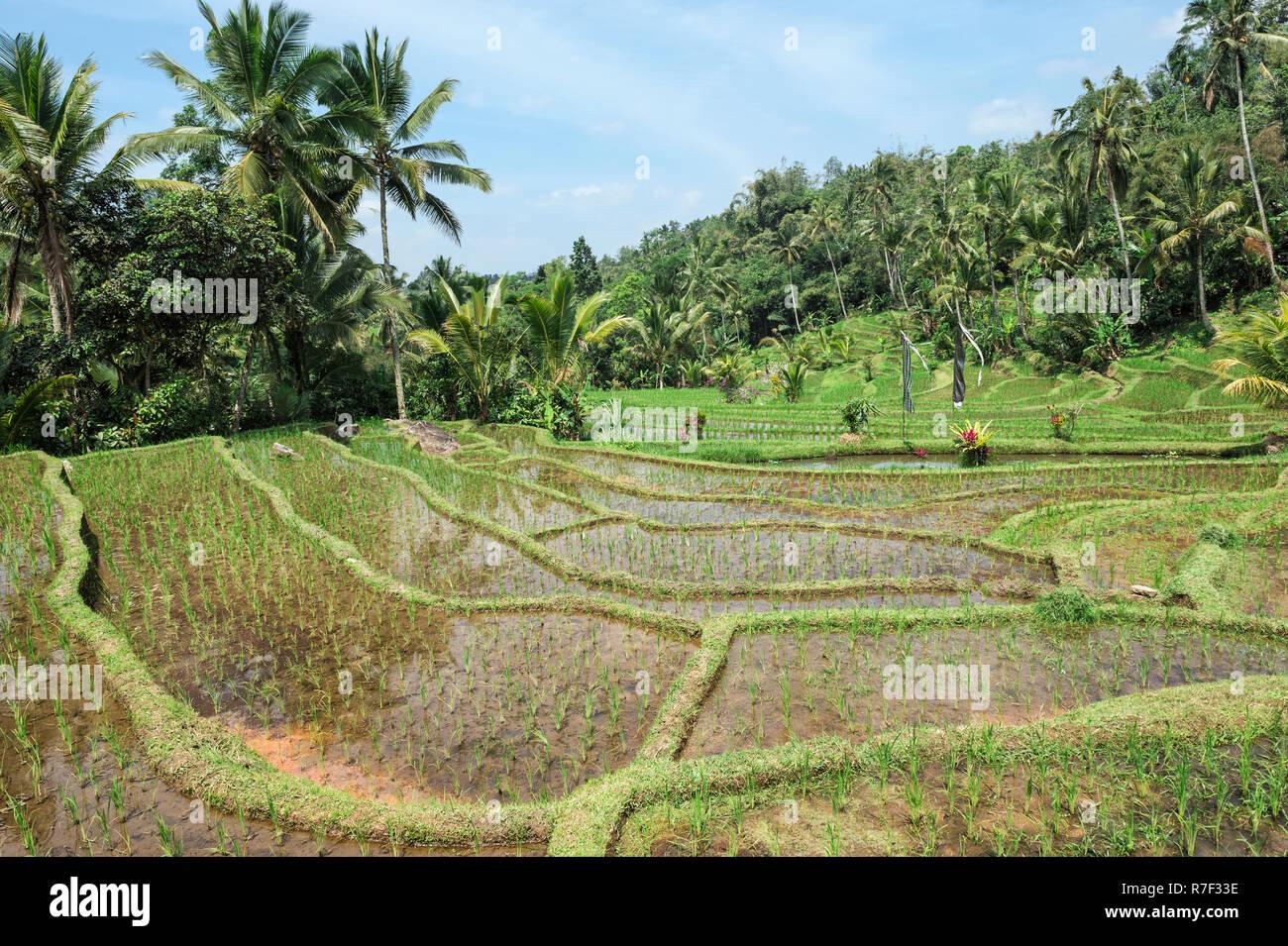 Gunung Batukau rice fields, Bali, Indonesia Stock Photo