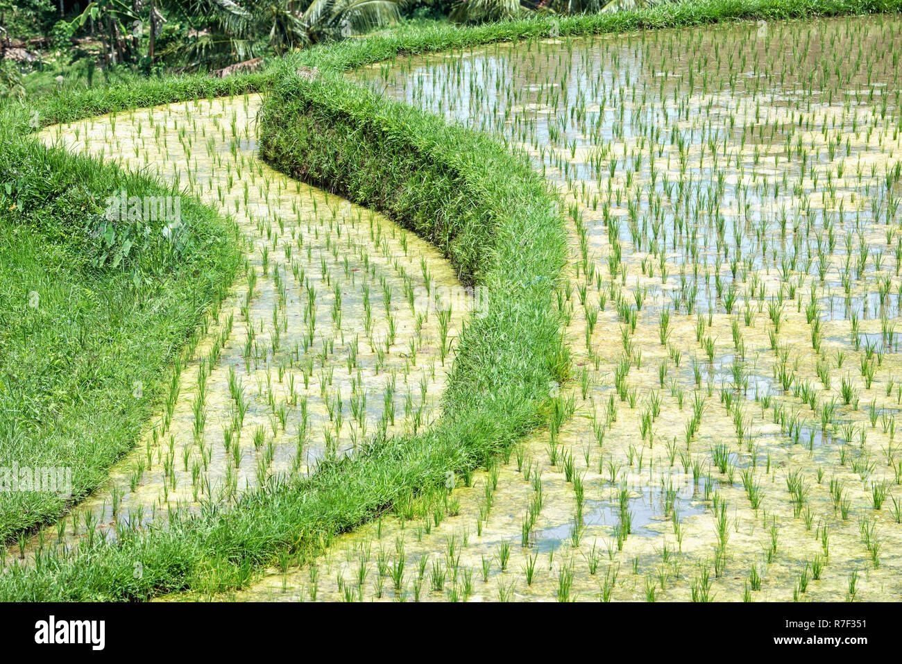 Gunung Batukau rice fields, Bali, Indonesia Stock Photo