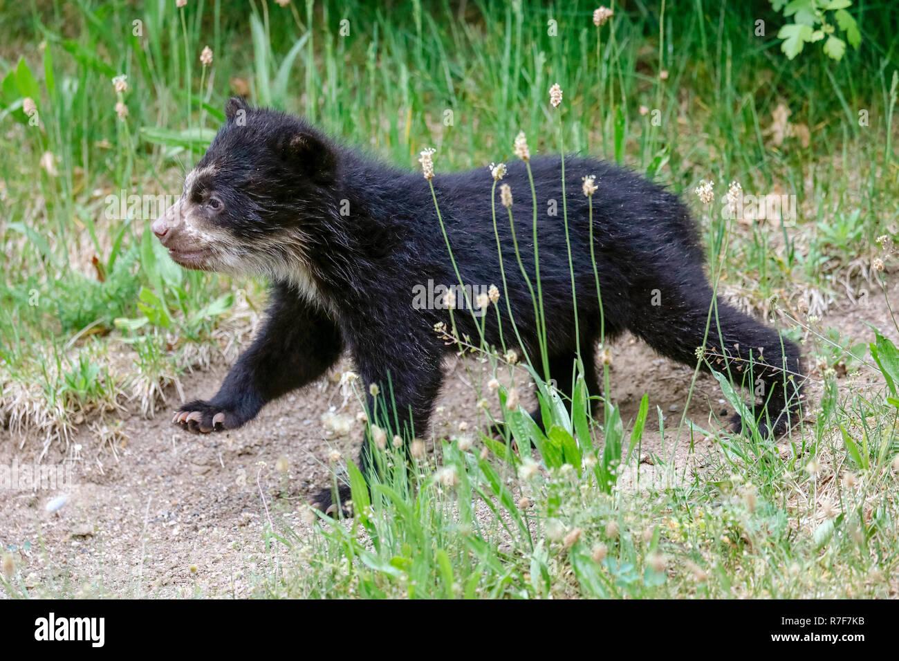 Spectacled bear, Andean bear (Tremarctos ornatus) young animal climbing, captive Stock Photo