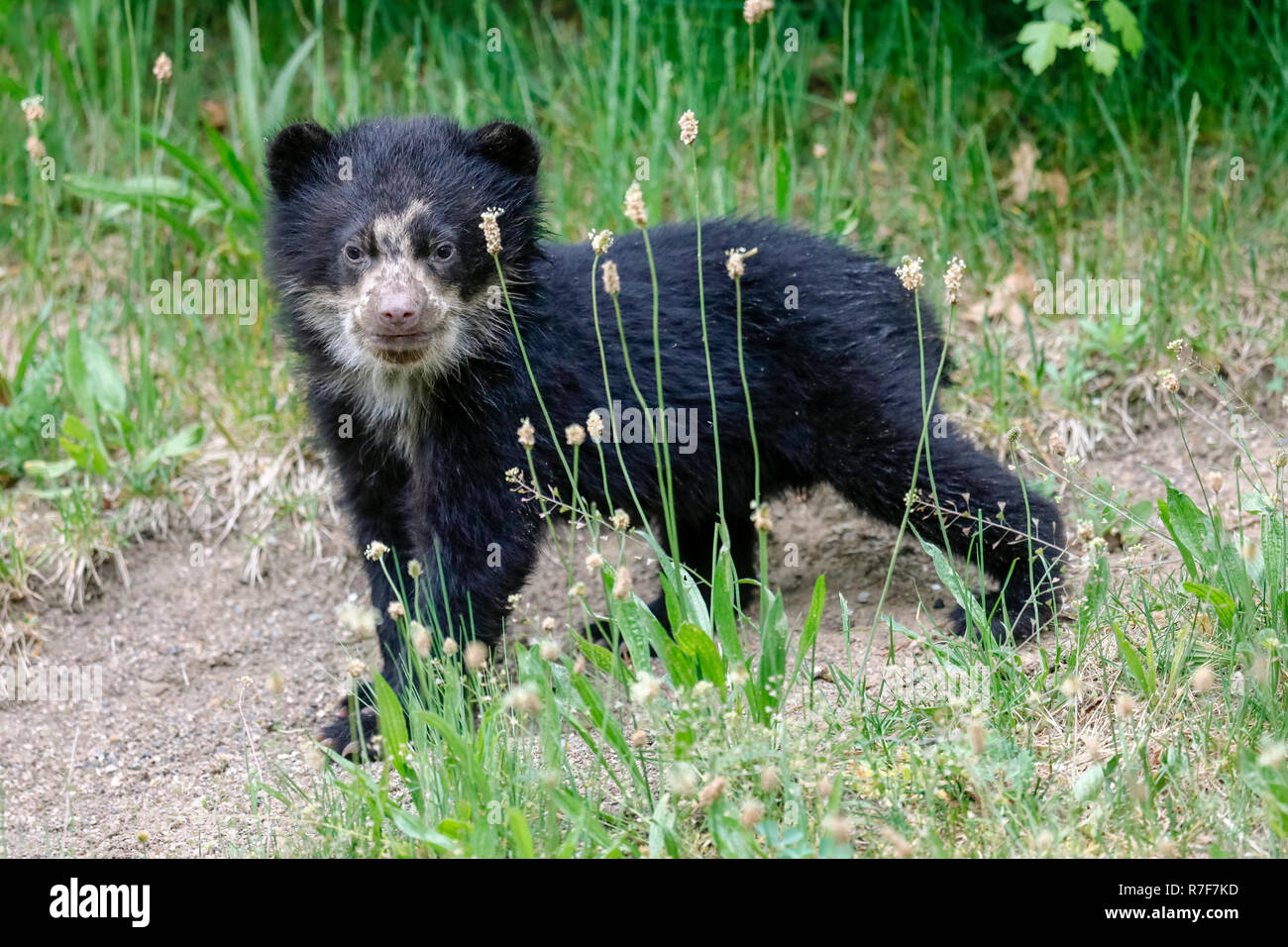 Spectacled bear, Andean bear (Tremarctos ornatus) young animal climbing, captive Stock Photo
