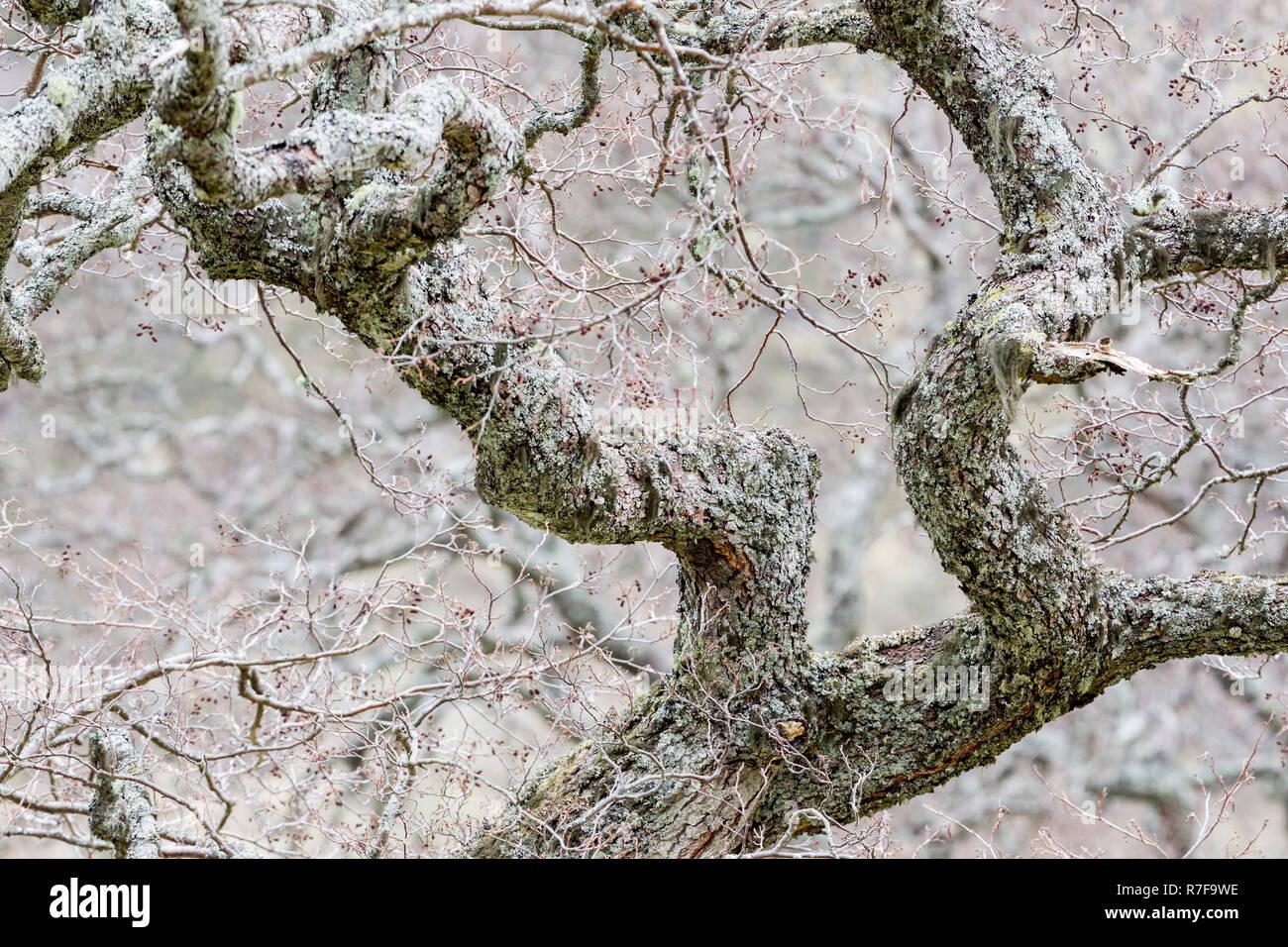 Lichen coved bare tree in Glen Strathfarrar, near Beauly,Inverness-Shire,Scotland - Stock Image