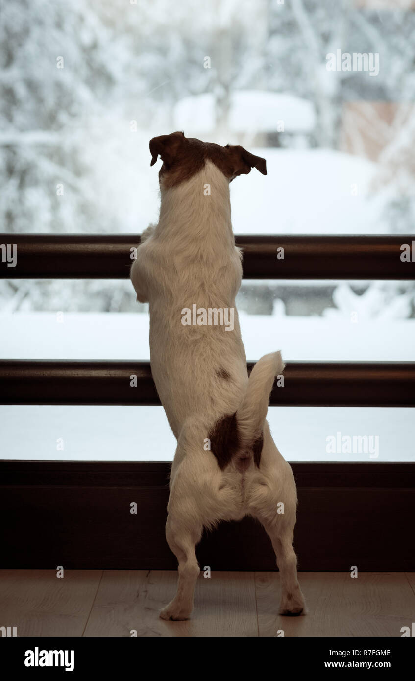 Dog looking through window at fairy snowy view waiting for owner - Stock Image