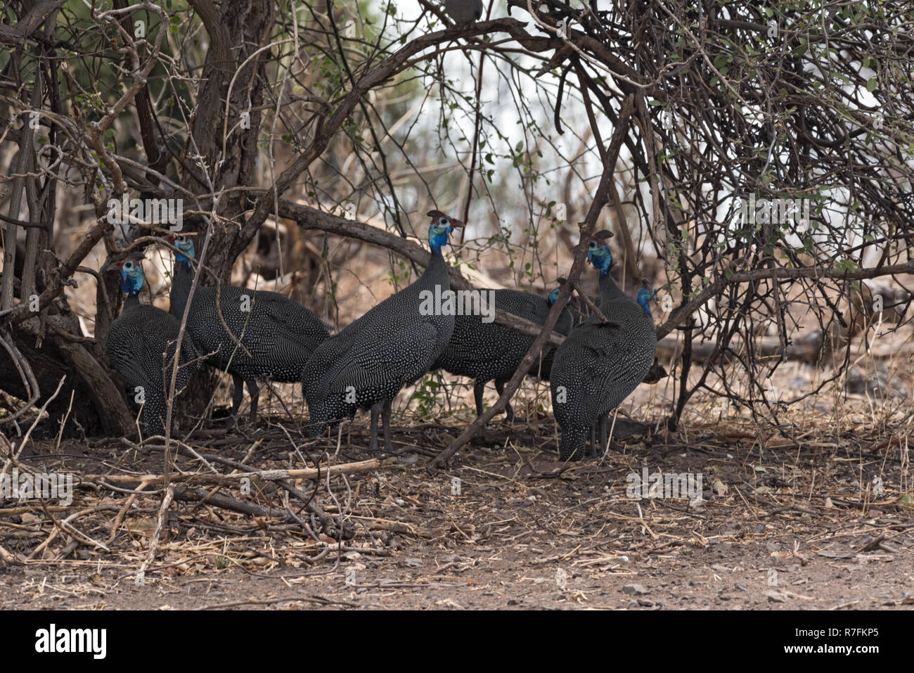 Helmeted guineafowl in the shade of a bush, botswana, africa - Stock Image