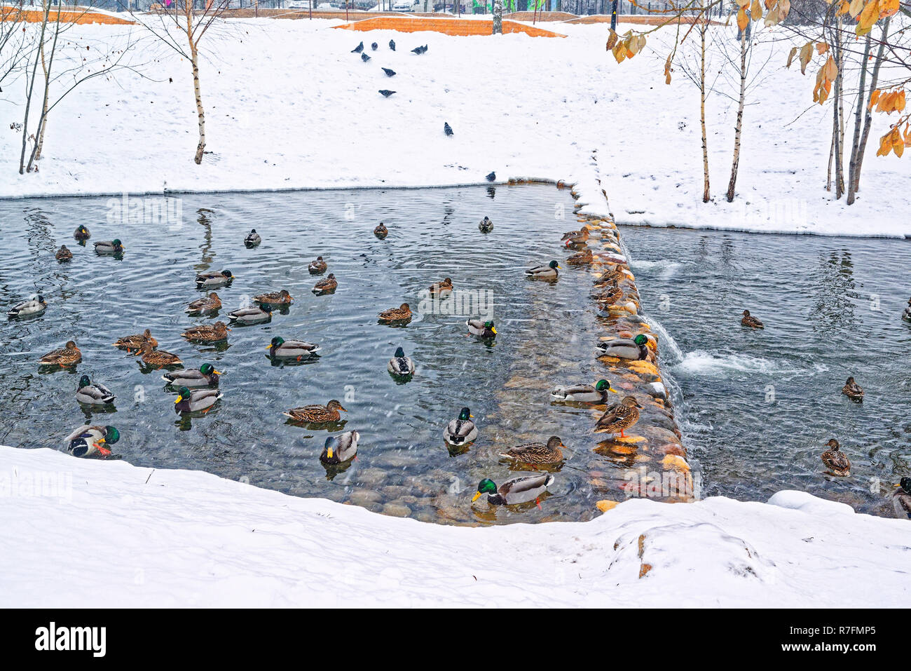 A beautiful city park on the outskirts of the city with a lake, river and birches. Winter, gloomy sky and heavy snow. Ducks hibernate in an unfrozen s - Stock Image