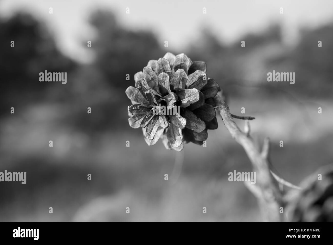 Small pine cone on a dry branch. Blurred background. Pine seed. Black and white image - Stock Image