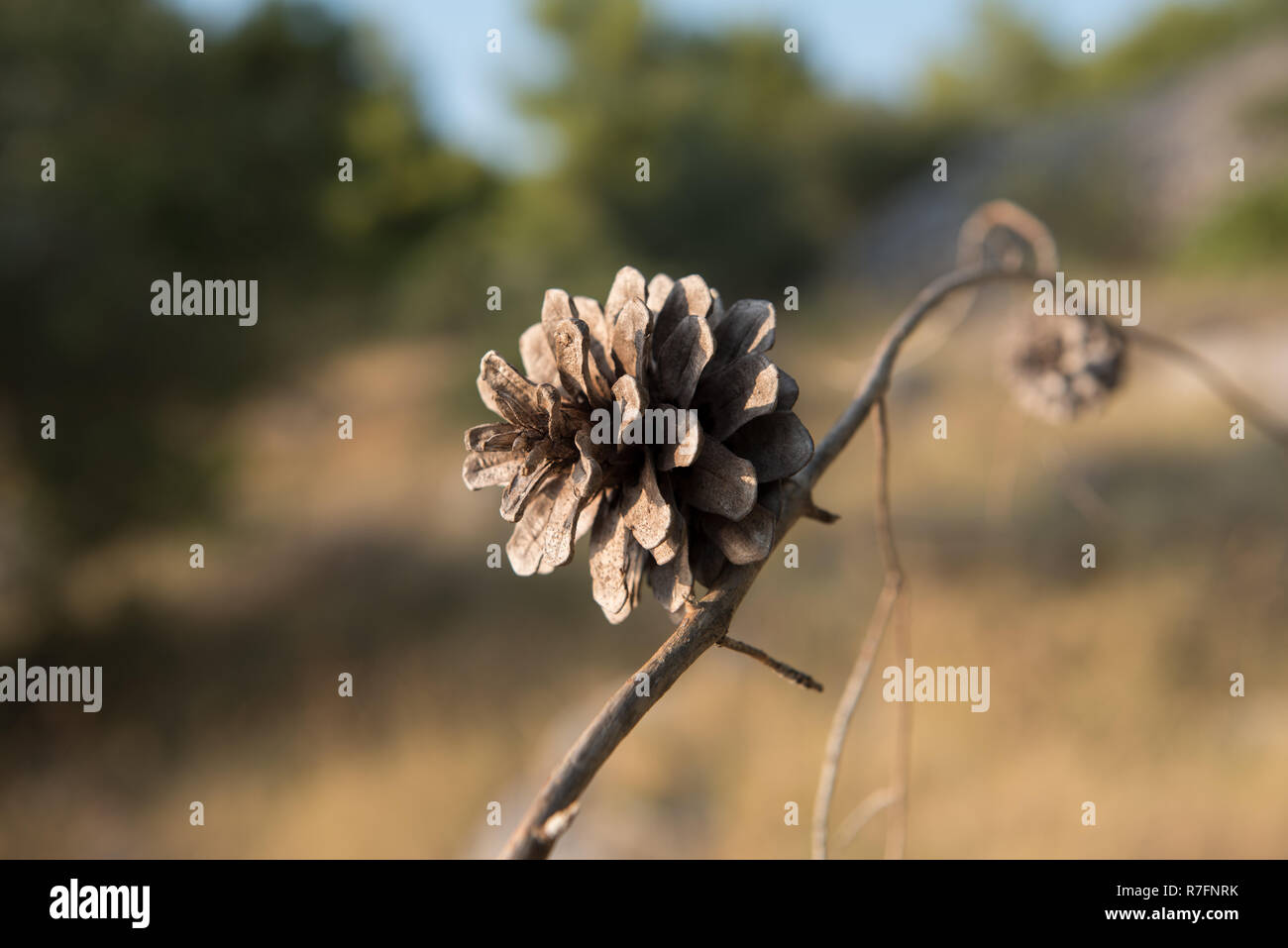 Small brown pine cone on a dry branch. Blurred background. Pine seed - Stock Image