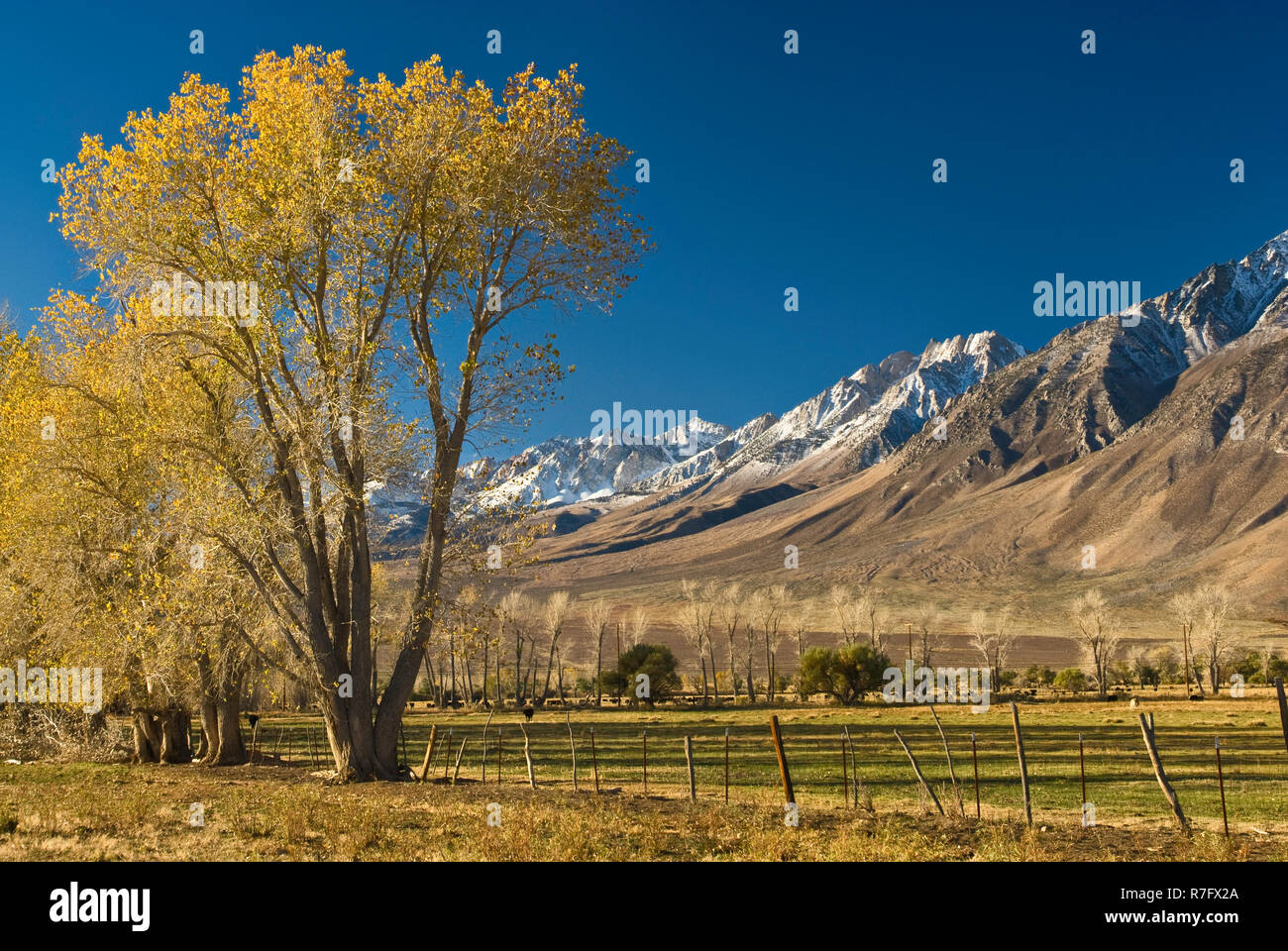 Mt Humphreys in Eastern Sierra Nevada and cottonwood trees in autumn foliage, Round Valley near Bishop, California, USA - Stock Image