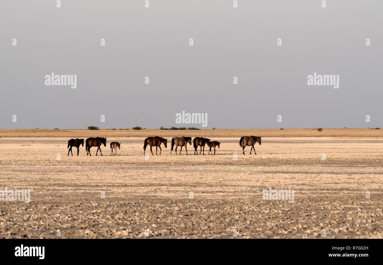 Horses on Makgadikgadi Pan, Nwetwe Pan in Botswana - Stock Image