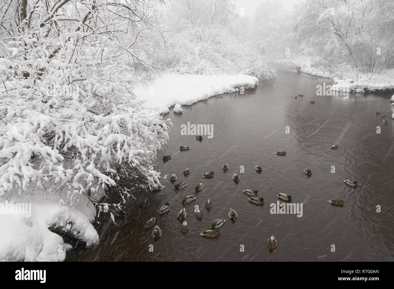Beautiful winter scene with ducks swimming in the Yauza river after heavy snowfall, Babushkinkiy district, Moscow. - Stock Image
