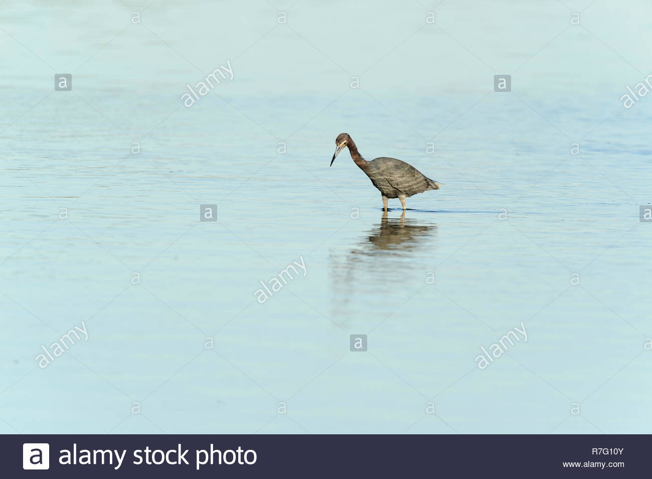 Little Blue Heron hunting in lagoon shallows Stock Photo