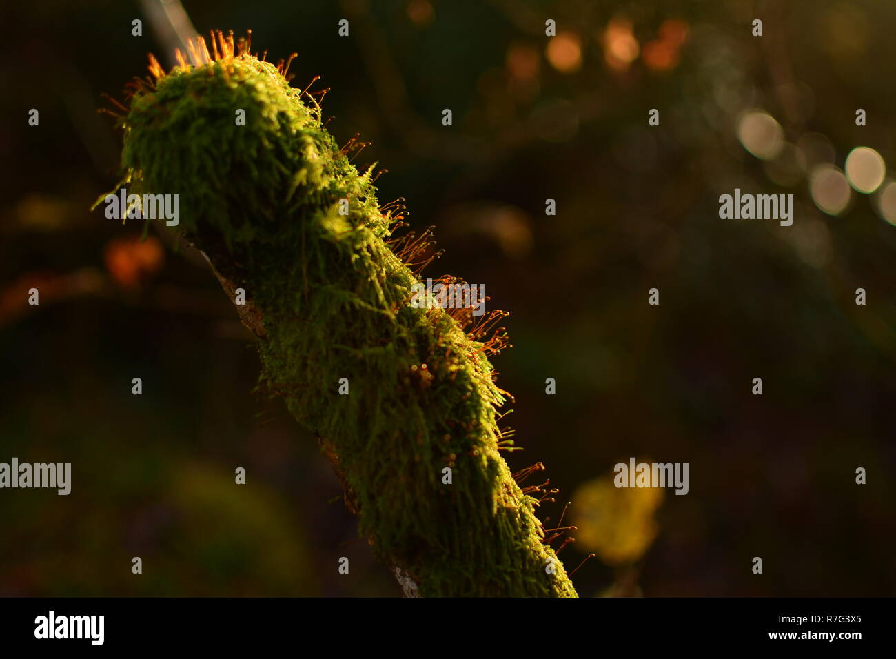 Moss closeup Lite by Sunset with Bokeh Background - Stock Image