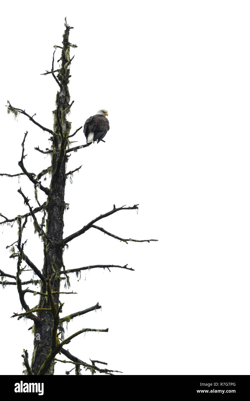 Adult bald eagle perched on a dead tree with a white cloudy sky in the background - Stock Image