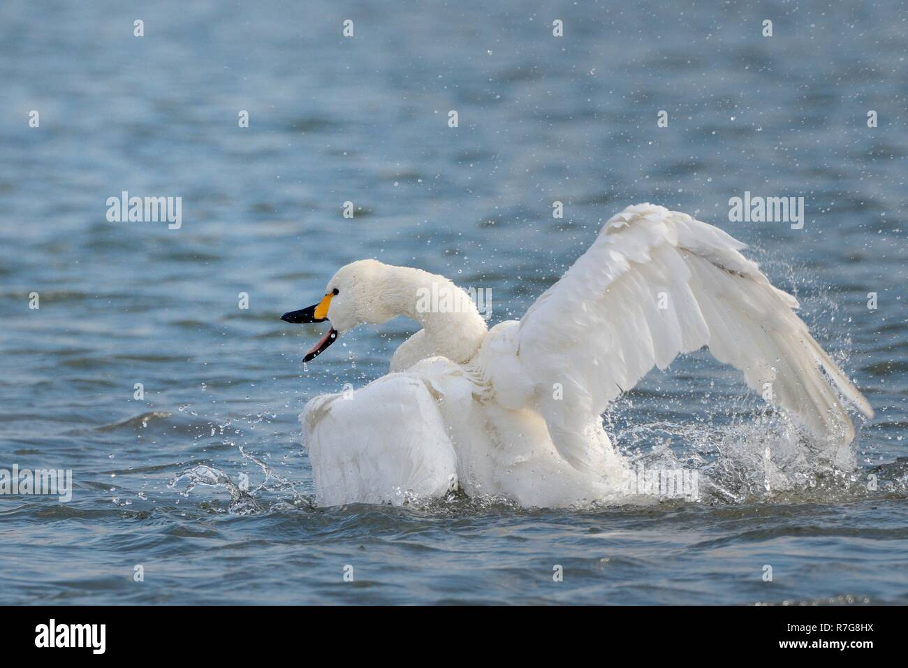 Bewick's swan (Cygnus columbianus bewicki) bathing and flapping its wings on the surface of a freshwater lake, Gloucestershire, UK, February - Stock Image