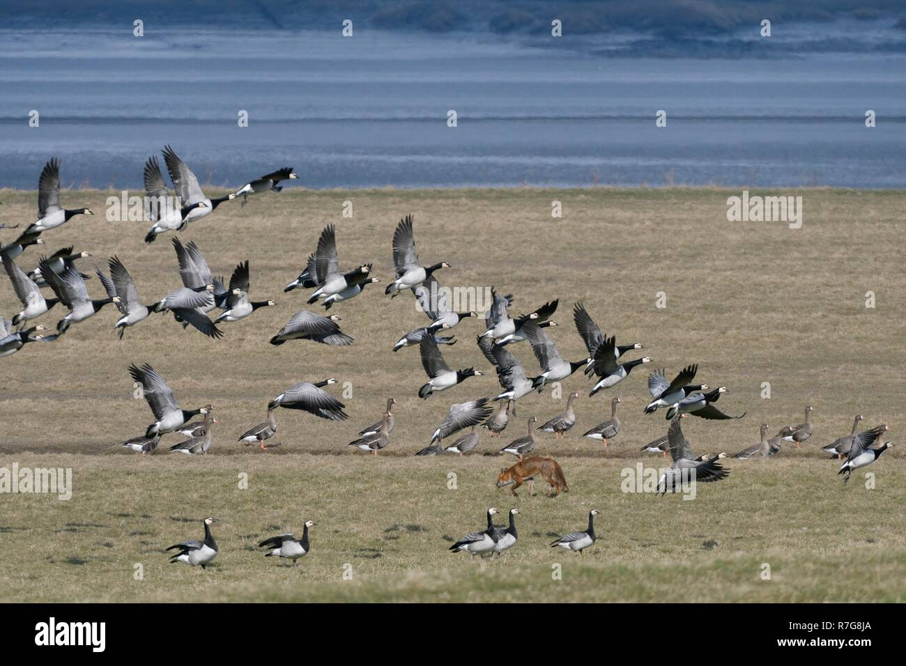 Barnacle geese (Branta leucopsis) taking off as a hunting Red fox (Vulpes vulpes) walks across the saltmarsh they were resting on, Severn estuary, UK - Stock Image
