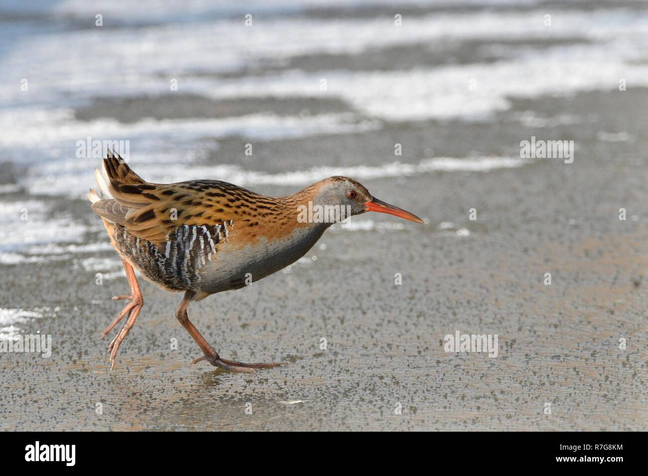 Water rail (Rallus aquaticus) walking across a frozen, snow dusted pond, Gloucestershire, UK, February. - Stock Image