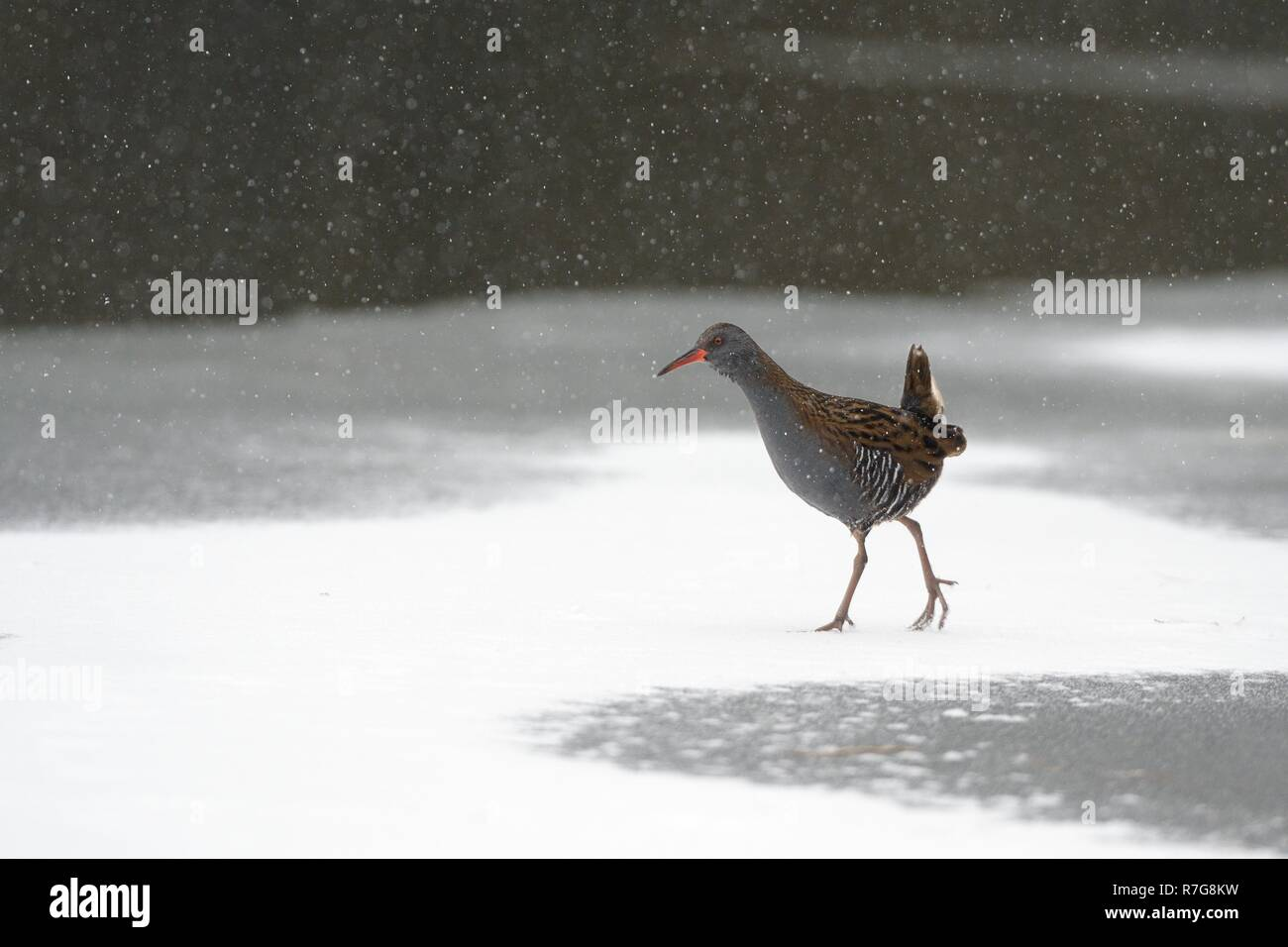 Water rail (Rallus aquaticus) walking on frozen, snow covered lake surface in falling snow, Wiltshire, UK, March. - Stock Image