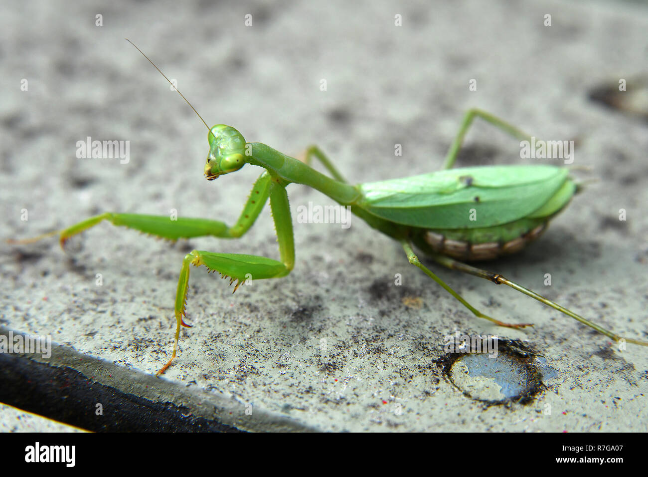 Pregnant Praying Mantis High Resolution Stock Photography And